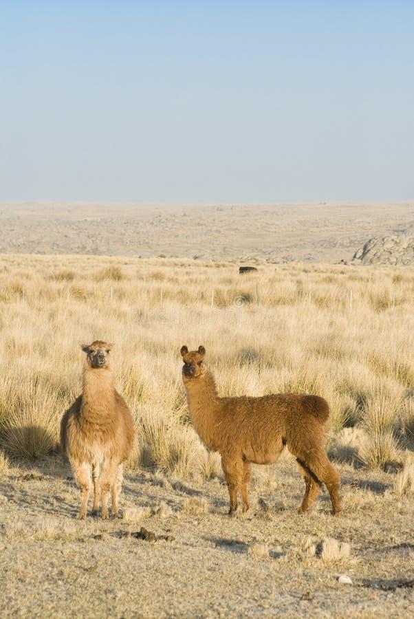 llamas κατακόρυφος στοκ εικόνα