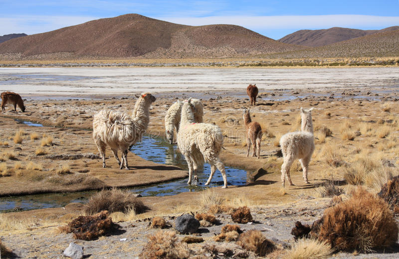 Llamas stock photos