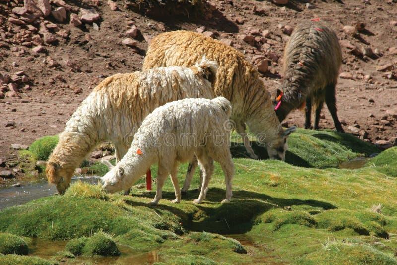 llamas στοκ εικόνες