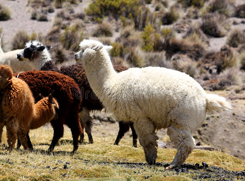 Download Llamas alpaca stock image. Image of grass, llama, numerous - 17508777