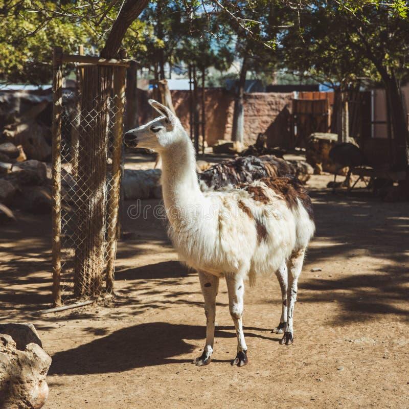 Llamas blancas y marrones en el pequeño parque zoológico foto de archivo