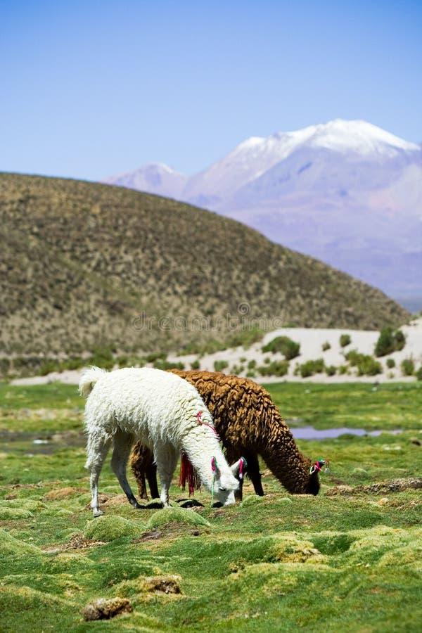 Download Llamas, Bolivia stock image. Image of south, animal, bolivia - 13886091