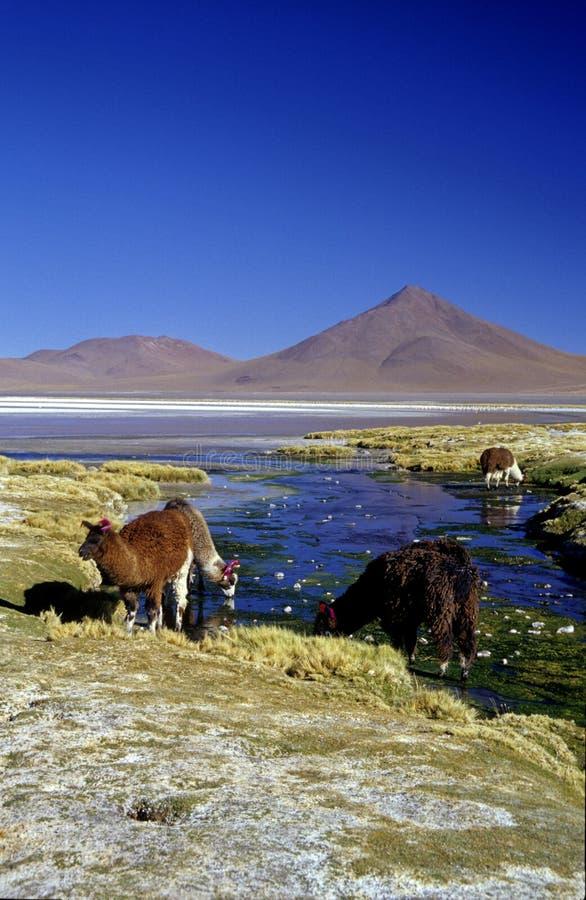 llamas colorado передние laguna стоковые изображения