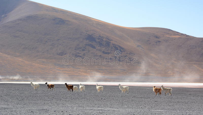 Llamas at Eduardo Avaroa Andean Fauna National Reserve. Bolivia. The Eduardo Abaroa Andean Fauna National Reserve is located in Sur Lípez Province royalty free stock photography