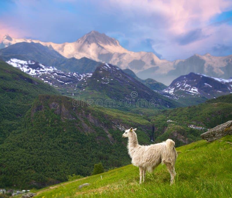 Llamas en las montañas imagen de archivo