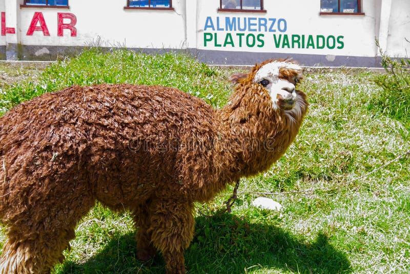 Llamas en Salar de Uyuni en Bolivia foto de archivo libre de regalías