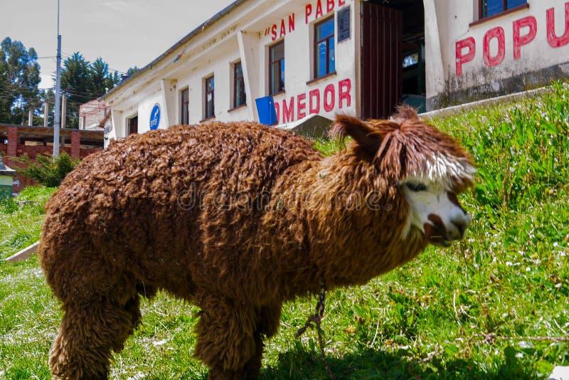 Llamas en un campo de Salar de uyuni en Bolivia fotos de archivo