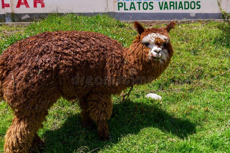 Llamas en un campo de Salar de uyuni en Bolivia imagen de archivo