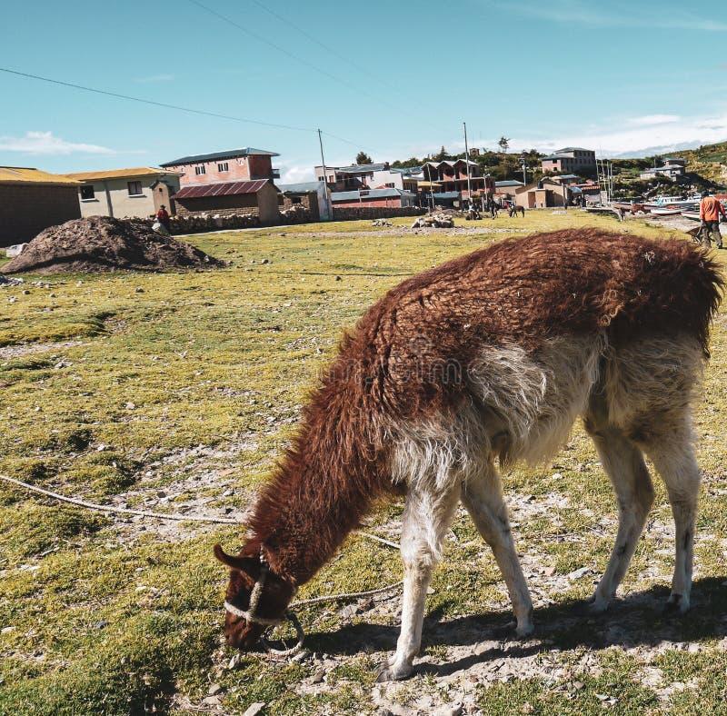Llamas en un campo de Salar de uyuni en Bolivia fotos de archivo libres de regalías
