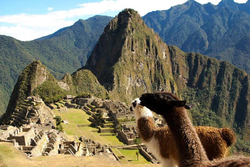 Llamas' Eye View Of Macchu Picchu. A photo of two llamas looking toward the ancient city of Macchu Picchu royalty free stock photos