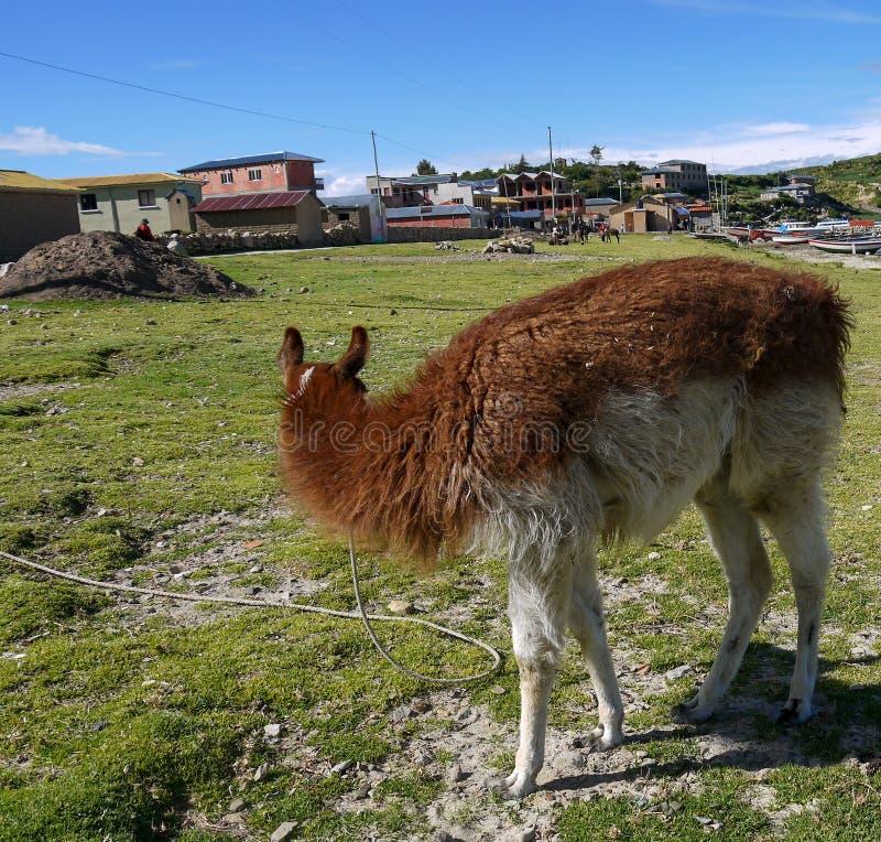 Llamas in a field of salar de uyuni in Bolivia royalty free stock image