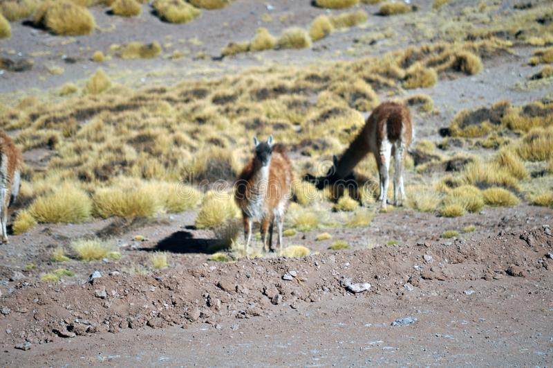 Llamas grazing at The Puna de Atacama or Atacama Plateau stock image