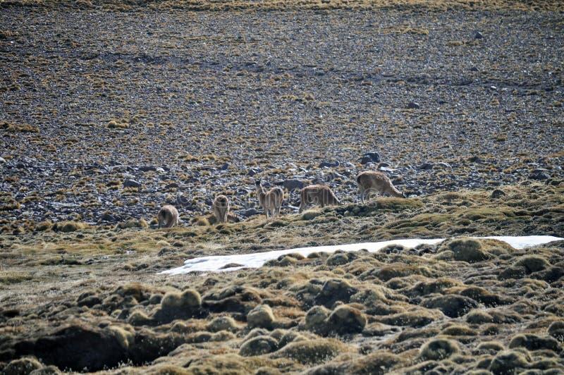Llamas grazing at The Puna de Atacama or Atacama Plateau royalty free stock photo