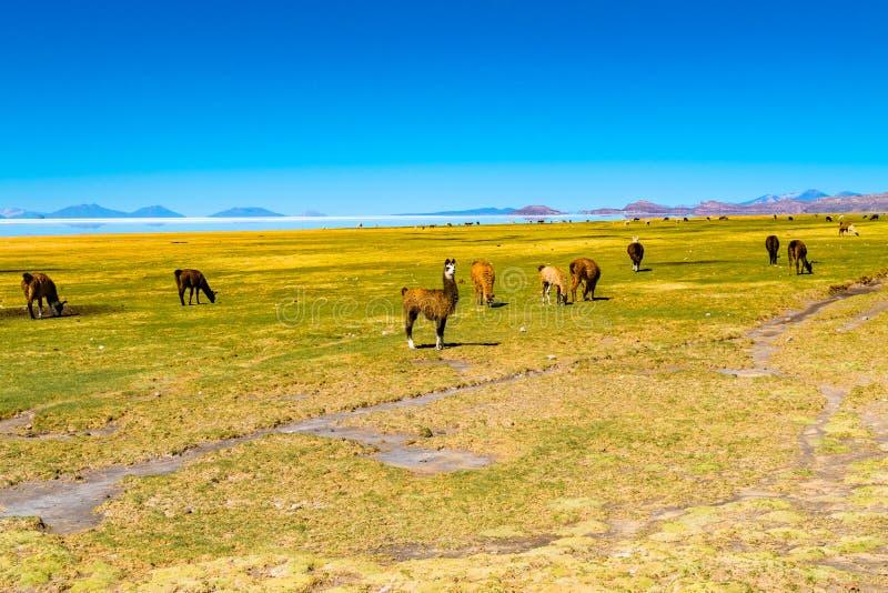 Llamas que pastan en el campo en la orilla de Salar de Uyuni en el pueblo de Coqueza imagenes de archivo