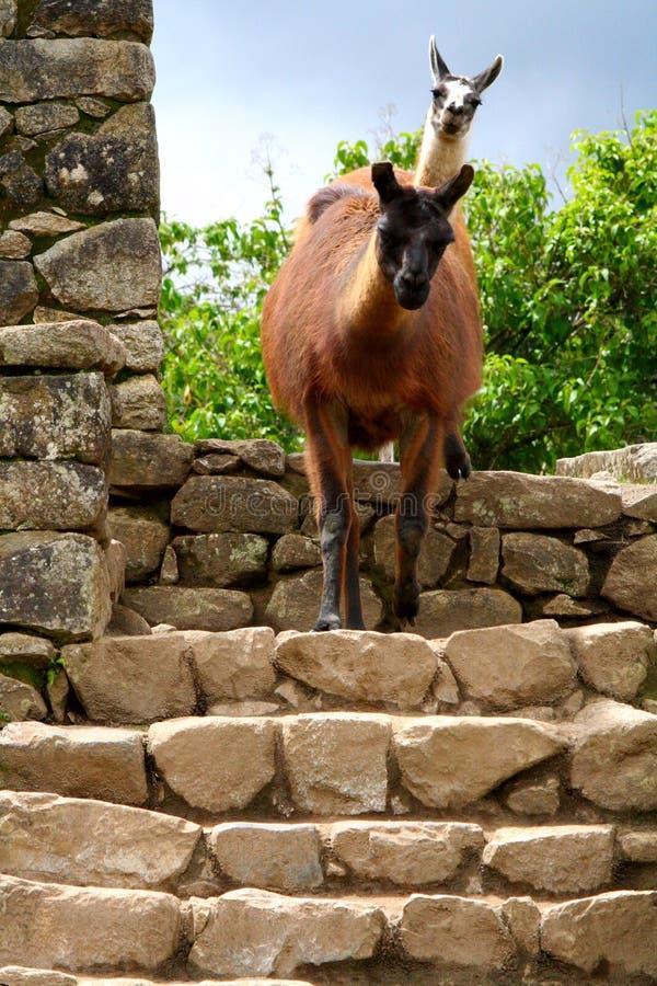 Llamas on stone steps. Two llamas (Lama glama) stand on stone steps in Machu Picchu, Peru royalty free stock photography