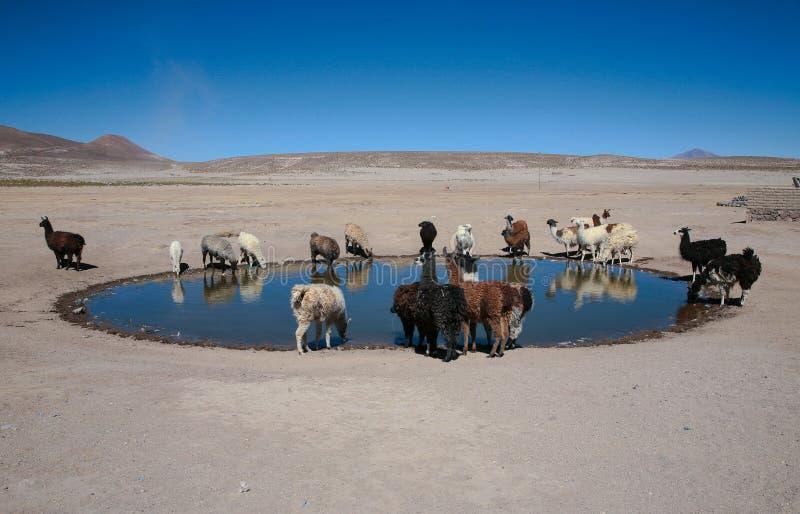 Llamas trough royalty free stock photos