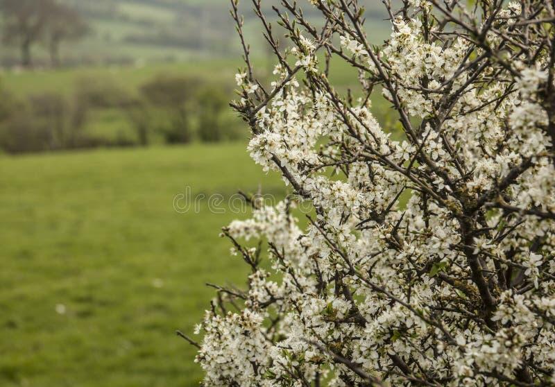 Llanbedrog, País de Gales - un día soleado y un arbusto por completo de flores fotos de archivo libres de regalías