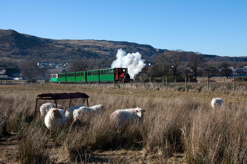 Llanberis steam train. With sheep in the foreground and puffs of white coming out of the funnel royalty free stock image