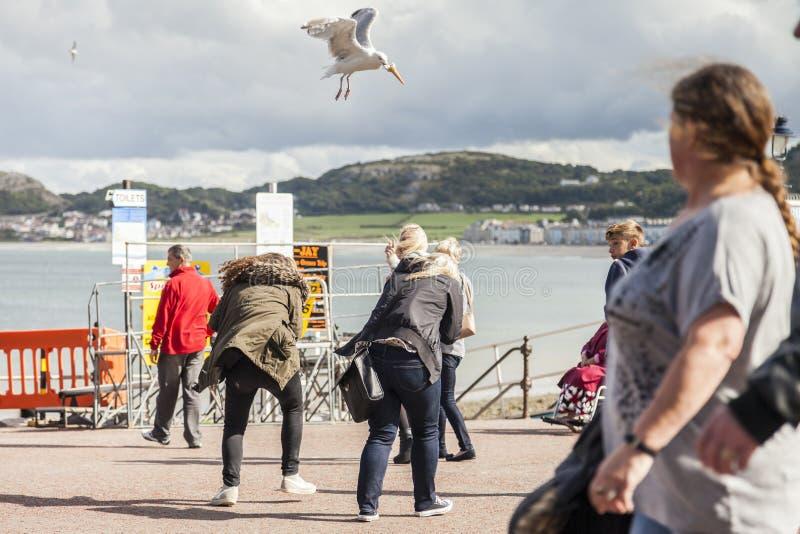 Llandudno Wales, UK 12th September, 2015 turister gör panikslagen, som seagullen dyk-bombarderar och stölder deras glasskotte royaltyfri foto