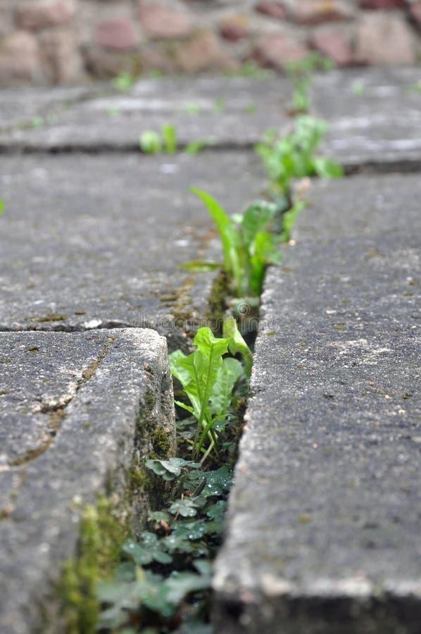 Llantenes brotados entre los bloques de cemento imágenes de archivo libres de regalías