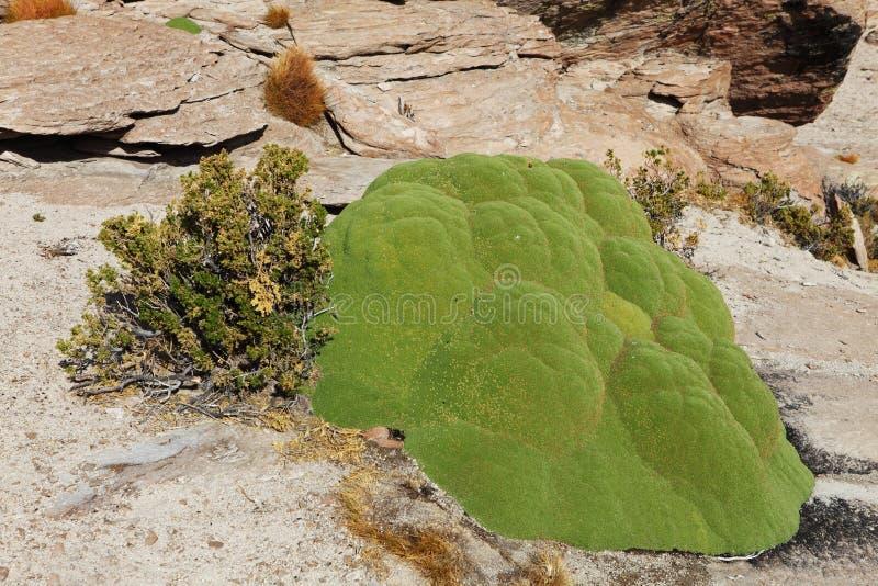 Llareta (Azorella compacta). High altitude Andean plant royalty free stock images