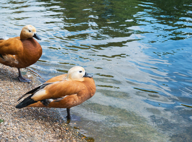 Lle coppie due anatre marroni fotografia stock