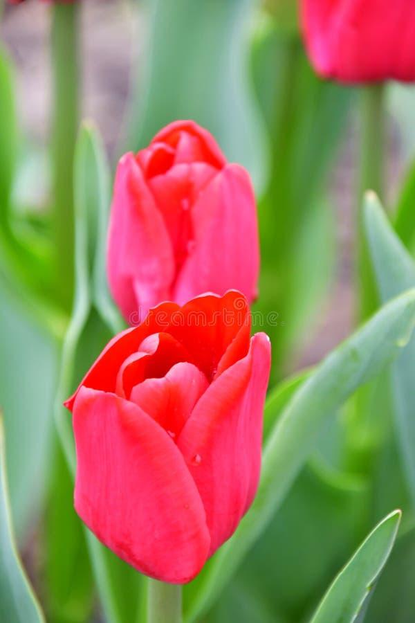 Lle de Francia Floración cardinal-roja que brilla intensamente imagen de archivo