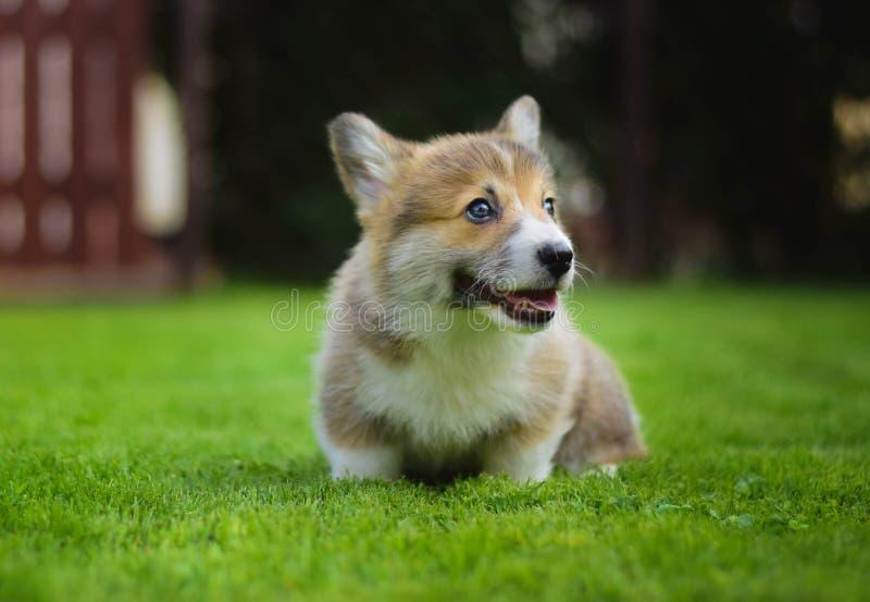 Lleno feliz lindo de perrito del pembroke del corgi galés de la energía que juega la sentada en una hierba verde en el jardín fotografía de archivo