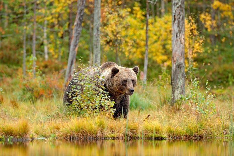 Lleve ocultado en árboles amarillos del otoño del bosque con el oso Oso marrón hermoso que camina alrededor del lago con colores  imagen de archivo libre de regalías
