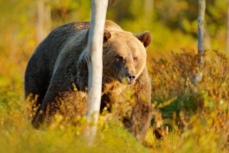 Lleve ocultado en árboles amarillos del otoño del bosque con el oso Oso marrón hermoso que camina alrededor del lago con colores  imagen de archivo