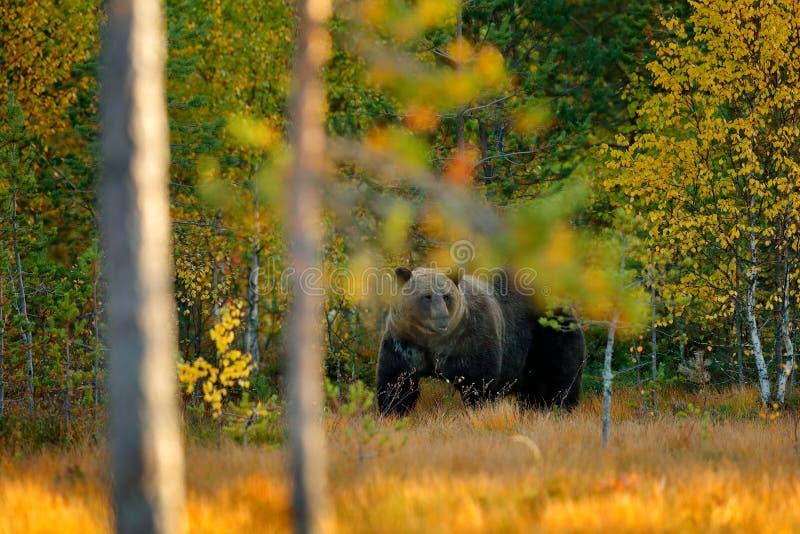 Lleve ocultado en bosque amarillo del otoño del bosque con el oso Oso marrón hermoso que camina alrededor del lago con colores de imagen de archivo libre de regalías