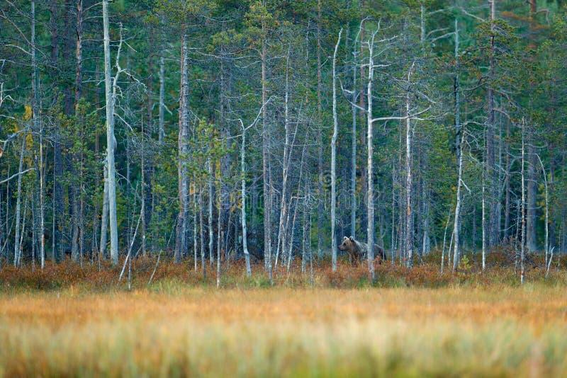Lleve ocultado en madera del otoño del bosque del pino amarillo y del abedul con el oso Oso marrón hermoso que camina alrededor d imagenes de archivo