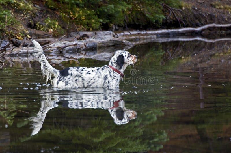 Llewellin legartu psa odbicie W jeziorze obrazy stock