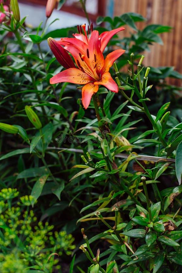 Llies en el jardín fotografía de archivo