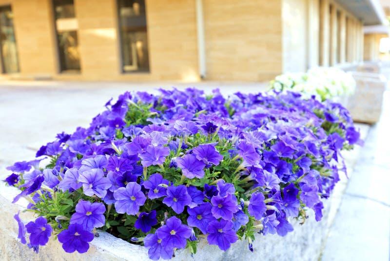 Llilac en de violette bloemen van petunia groeien in een steenbed op de achtergrond van een modern gebouw stock foto's