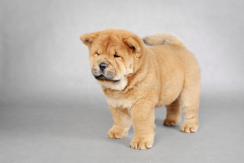 Llittle Chow chow puppy portrait stock photo