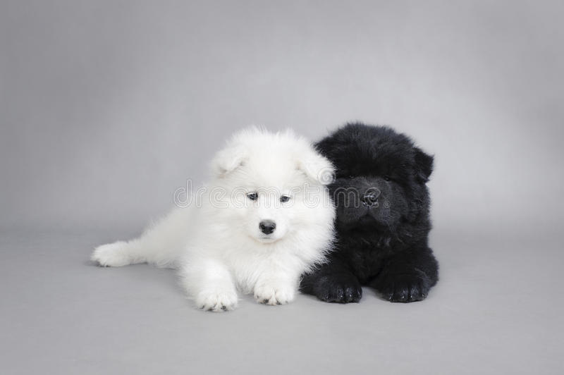 Llittle Chow Chow And Samoyed  Puppies Portrait Stock Photography