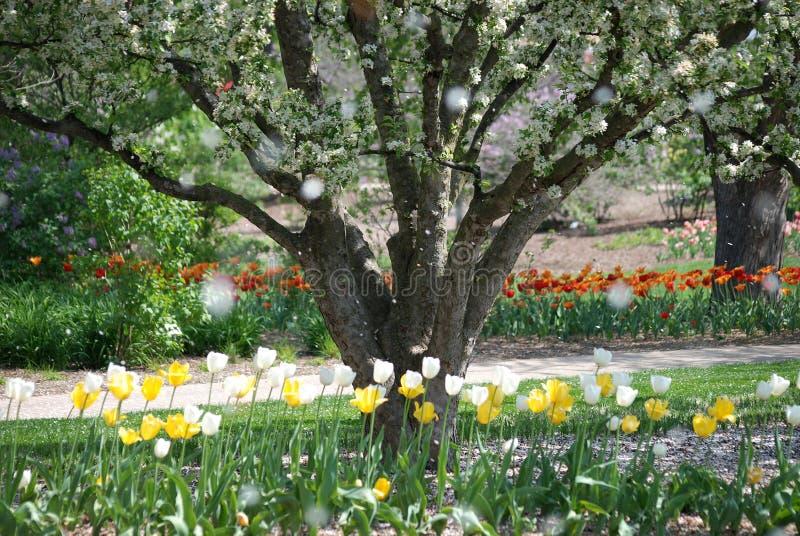 Lloviendo los pétalos de árboles florecientes en la primavera en Lilacia parquean en el lombardo, Illinois foto de archivo