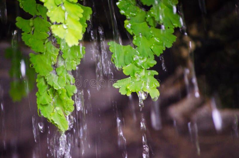 Lloviendo pensamiento el verde se va en una selva tropical de Australia imágenes de archivo libres de regalías
