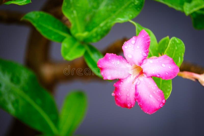 Llueva el descenso en las flores de la azalea, lirio de impala o desierto Rose o mofa fotografía de archivo