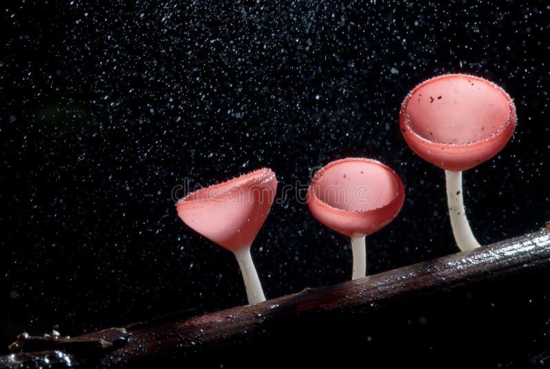 Llueva la seta rosada hermosa del champán alineada en la madera foto de archivo libre de regalías