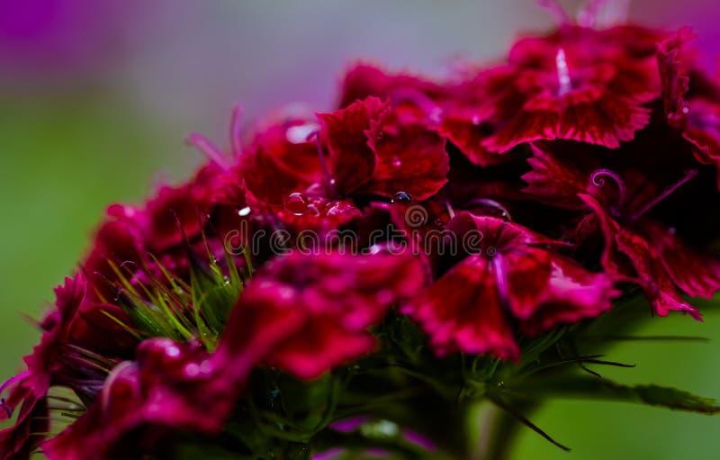 Llueva los descensos en una flor dulce roja de Guillermo fotos de archivo libres de regalías
