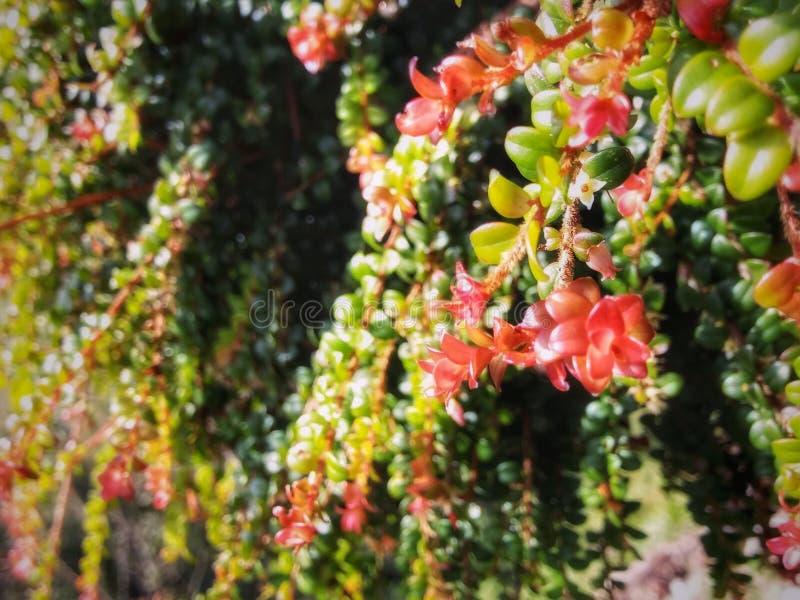 Lluvia de la flor roja imágenes de archivo libres de regalías