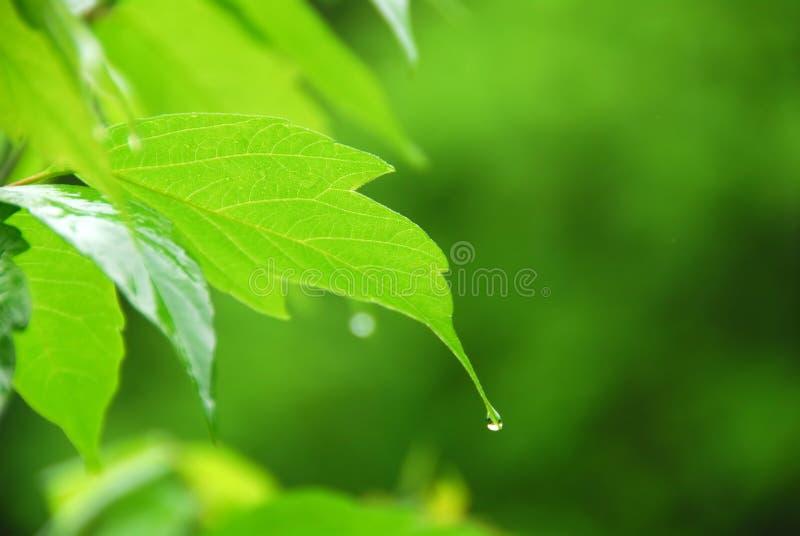 Lluvia verde de la hoja fotos de archivo