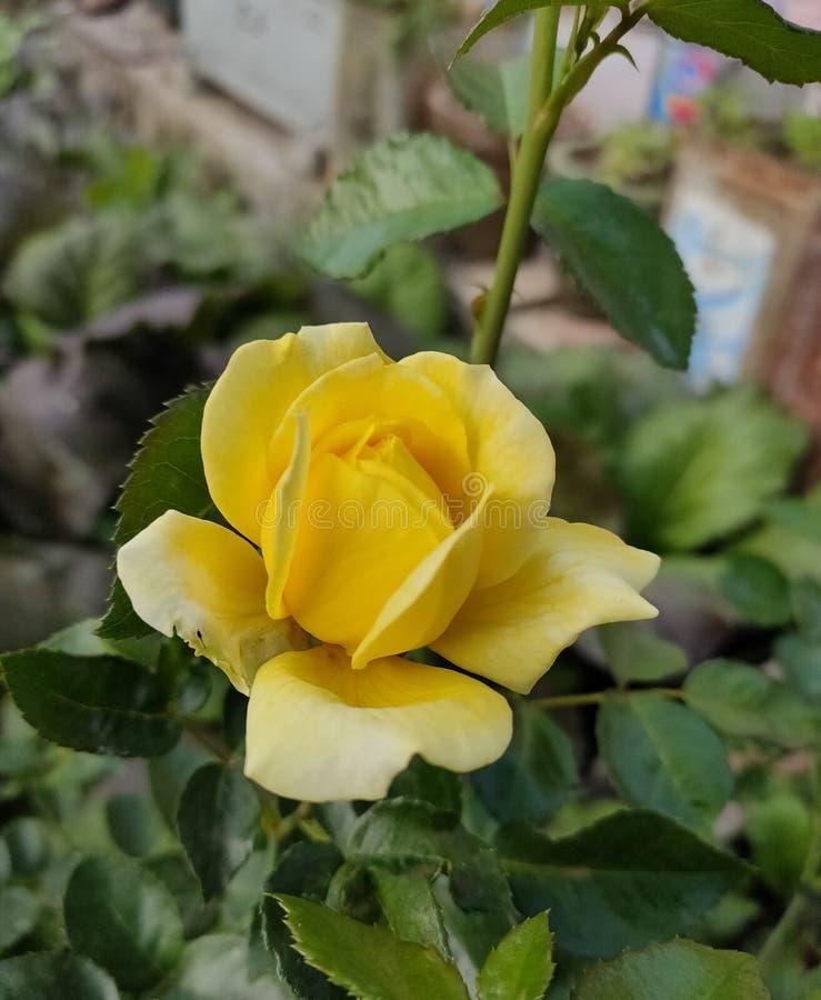 A lo largo de la historia, el amarillo ha estado estrechamente asociado con el sol, haciendo que estas rosas sean excelentes para fotografía de archivo