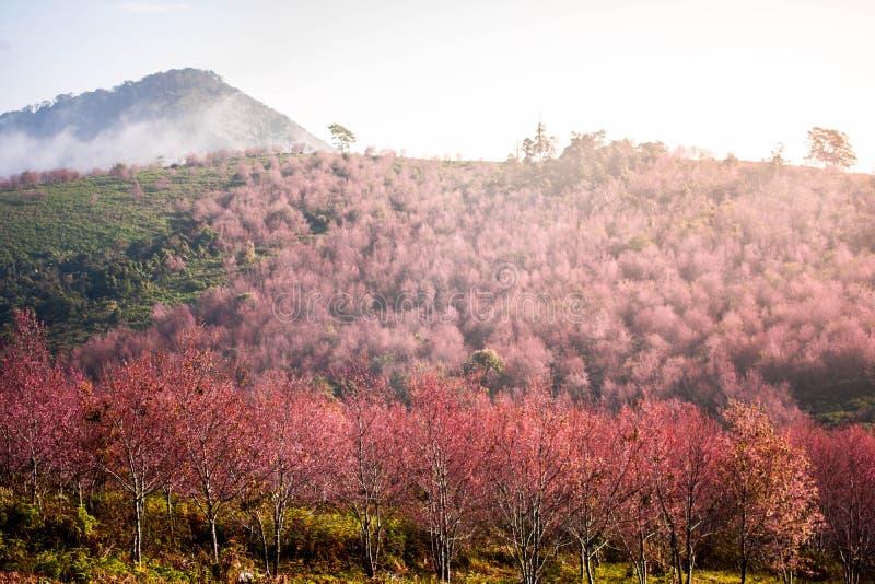 Lo Loei Таиланд lom phu цветка Сакуры вишневого цвета розовое стоковые фото