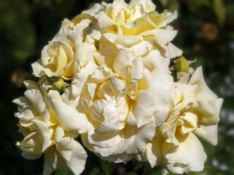 Lo scalatore Gran-fiorito giallo-chiaro è aumentato in giardino, fondo d'annata naturale floreale immagini stock