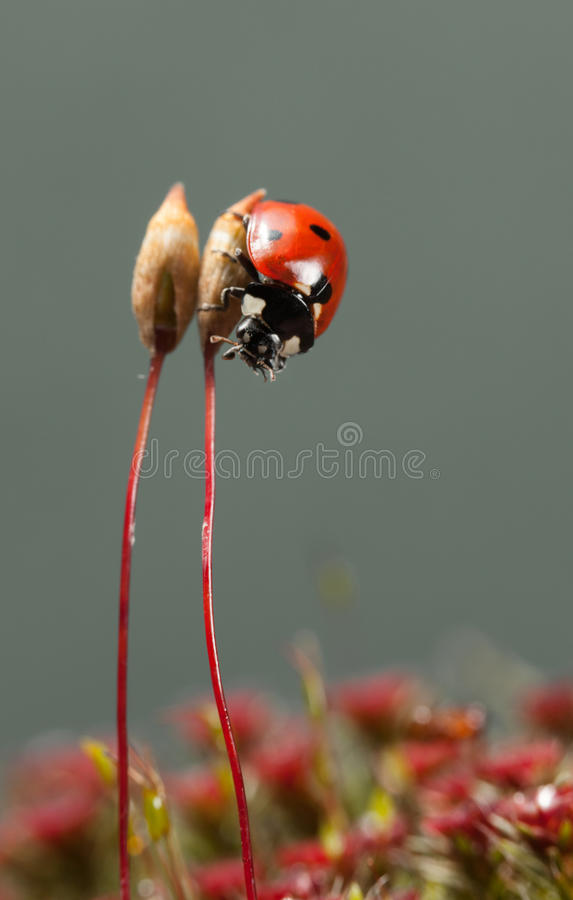Lo scarabeo di coccinella scende immagini stock