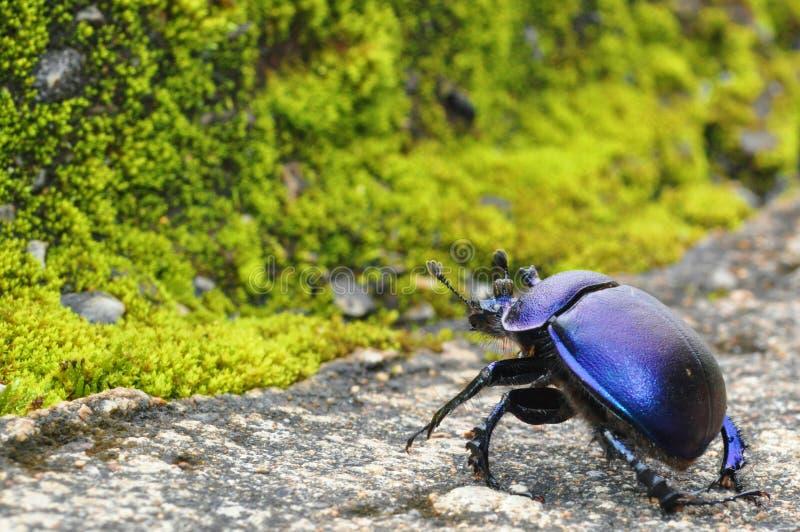 Lo scarabeo nero ruba attraverso il muschio della foresta della scopa immagine stock libera da diritti