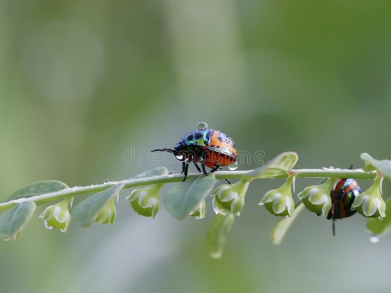 Lo scarabeo rosso immagini stock